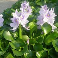 水生植物报价鱼腥草、再力花、水生美人蕉、鱼腥草、芦苇、玉带草