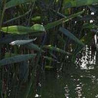 水生植物馬蹄蓮水仙魚腥草芡實碗蓮再力花苦草梭魚草花葉蘆竹