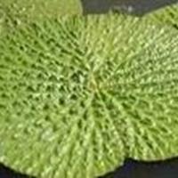 低價出售 海藻 苦草 狐尾藻 鴨子草 水葫蘆 芡實等水生植物