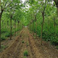 河南鄢陵盆栽月季