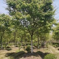 精品櫸樹  各個規格