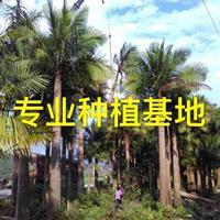 福建国王椰子价格 国王椰子树批发供应热带植物国王椰子基地直销