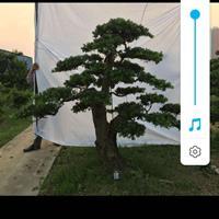 廣西羅漢松行情報價/廣西羅漢松圖片展示