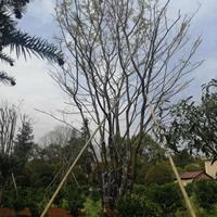 廣西優質特價樸樹產地直銷/廣西樸樹價格/報價
