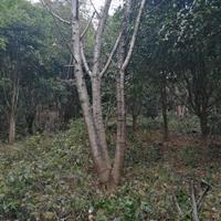 2020年廣西桂林樸樹新報價