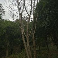 廣西桂林樸樹規格齊全/廣西樸樹價格優惠