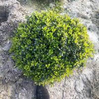 矮紫鹃球 杭州矮紫娟球行情报价/矮紫鹃球 杭州矮紫娟球图片展示