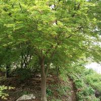 江西九江鸡爪槭行情报价/江西九江鸡爪槭图片展示
