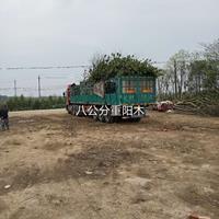 2020年江西九江8公分重阳木新报价