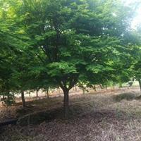 雞爪槭/紅楓/垂絲海棠/紅豆杉/櫻花批發及報價