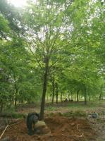 安徽榉树批发便宜 出售各种规格红榉树 合肥榉树今年价格便宜