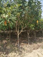 安徽枇杷树价格便宜今年买枇杷树到安徽合肥合肥大量批发各种规格
