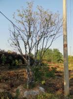 合肥市专业的乌桕树生产基地大量批发各种规格乌桕价格便宜,重生