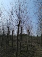 合肥大规格乌桕树合肥乌桕小苗买大规格乌桕树可以到合肥安徽的乌