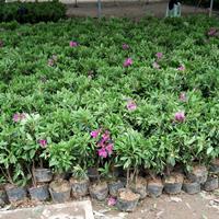 供應毛鵑 30-50公分毛鵑苗價格 毛杜鵑 量大價低 基地直
