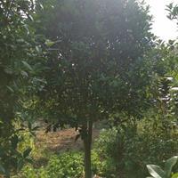 低价出售桂花,乌桕,紫薇,三角枫,朴树,香樟红叶石楠大叶女贞