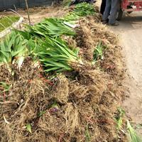 鳶尾低價直銷 鳶尾價格 鳶尾圖片 地被植物 量大價低