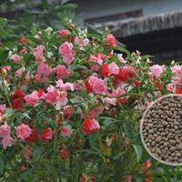 供应凤仙花种子、大丽花种子、小丽花种子、醉蝶花种子
