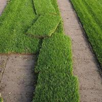 供应草坪-草种,果岭草草坪,马尼拉草坪,四季青草坪,百慕达草