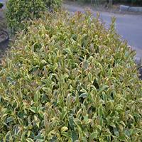 供應花境植物三色女貞球型 棒棒糖型加侖盆苗 杯苗 價格