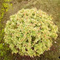 小丑火棘球 花境植物加仑盆苗 杯苗 袋苗 大桶苗苗圃价格