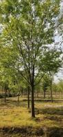 浙江12到25公分榉树批发价格怎么样 批发精品12公分巨额书