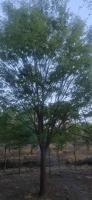 浙江18公分榉树 19公分榉树 20公分榉树 21公分榉树
