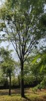 我我苗圃的 22公分榉树 23公分榉树24公分榉树25公分榉