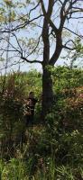本苗圃有大規格35公分烏桕樹批發