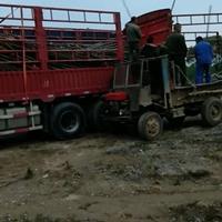 江西九江4公分無患子裝車中/無患子介紹/特征/用途