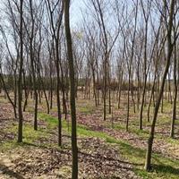 優質特價江西九江5-7公分櫸樹產地直銷