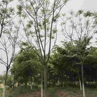 九江大量供应栾树      各种规格     栾树价格