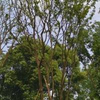 叢生樸樹單桿樸樹全冠移栽樸樹