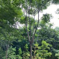 浙江桐鄉市供應欒樹價格-14公分黃山欒樹價格-苗圃直銷