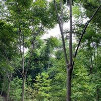 浙江桐鄉市供應欒樹--16公分黃山欒樹價格--苗圃直銷