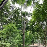 浙江桐鄉市供應欒樹--18公分黃山欒樹價格--苗圃直銷