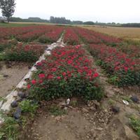 鄢陵地栽月季