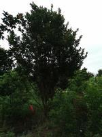 叢生紫薇、叢生樸樹、叢生榔榆、叢生香樟、叢生烏桕(栽植苗)