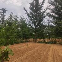 銀杏樹江蘇地區哪里買?銀杏樹多少錢一棵哪里便宜?