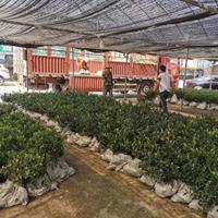 大量供应茶梅,茶梅装车,优质特价茶梅供应基地