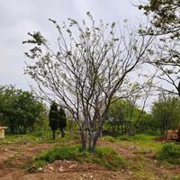 江蘇地區供應叢生樸樹規格齊全,叢生樸樹質優價美