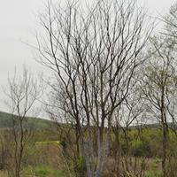江蘇叢生樸樹新價格,叢生樸樹新行情,叢生樸樹哪里有賣?
