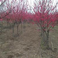 河南红叶桃3公一15公分