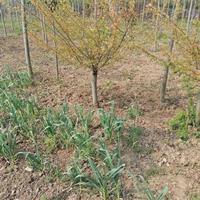 河南鄢陵榆叶梅,红叶桃3公一 2公