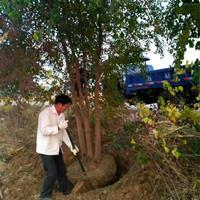 烏桕基地 烏桕樹價格 叢生烏桕 烏桕小苗 規格齊全 保質保量