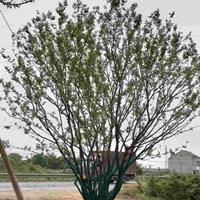安徽叢生樸樹 滁州叢生樸樹 移栽樸樹哪里好/哪家便宜
