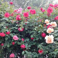供应蔷薇、迎春、连翘、红叶石楠、洒金柏、剑麻