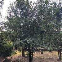 浙江供应25-100公分丛生榉树 丛生榔榆 价格图片