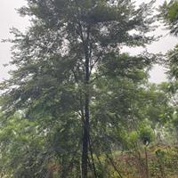 樸樹行情報價/樸樹圖片展示