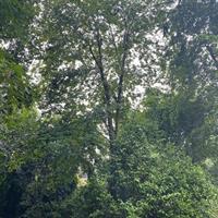 樸樹圖片/樸樹報價